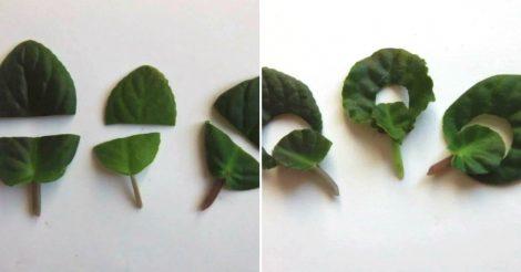 Как размножить фиалки листом