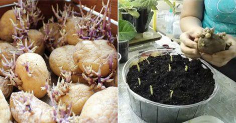 польза в проросшей картошке