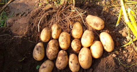 добавить в лунку с картошкой