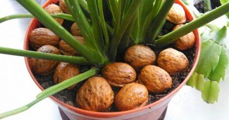 ореховая скорлупа в горшках