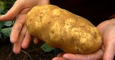 Огромный картофель