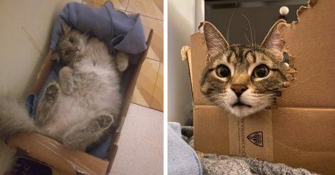 Картонная коробка и кошка