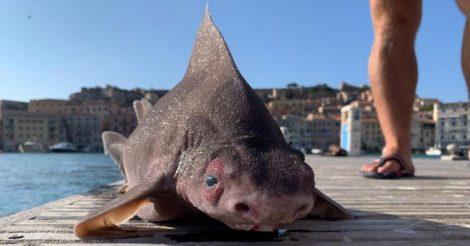 поймали акулу-поросенка