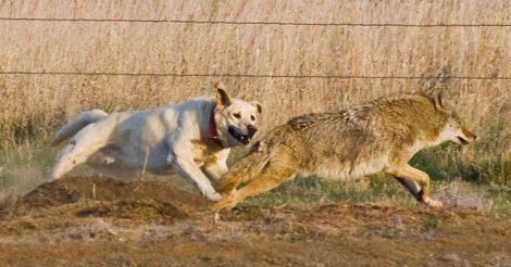 победить волка в схватке